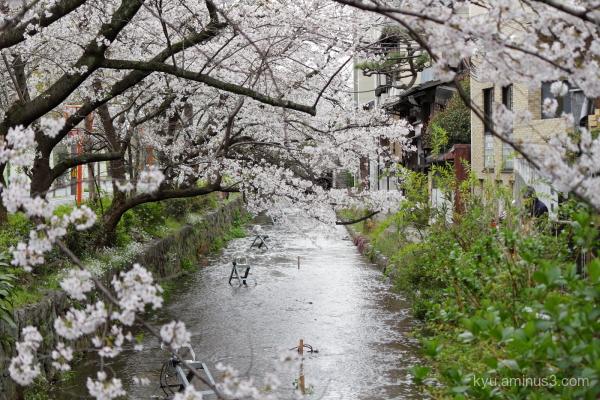 cherry blossoms Takasegawa Kyoto