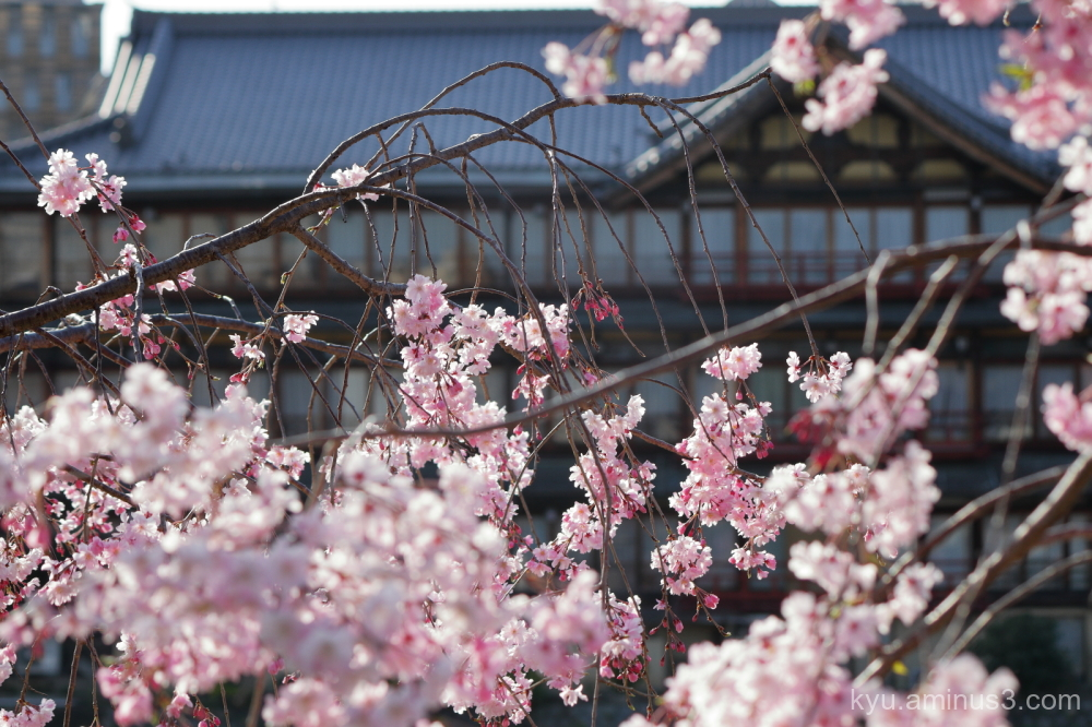 cherry-blossoms Kamogawa river Kyoto