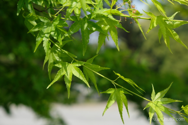 green-maple leaves Kyoto