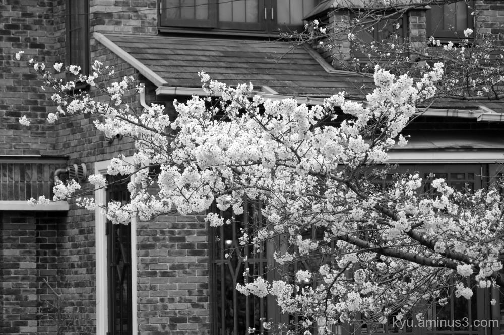Cherry-blossoms mono Kyoto