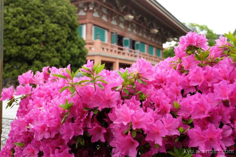 full-bloom azalea blossoms Chishakuin temple Kyoto