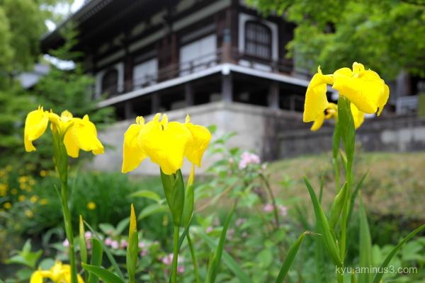 full-bloom iris flowers Chishakuin temple Kyoto