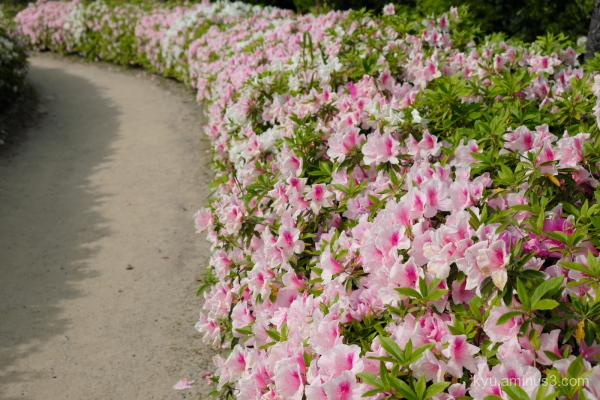 azalea blossoms park Kyoto