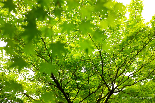 green-maple leaves