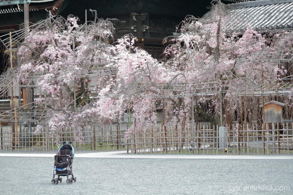 stroller drooping-cherry Bukkoji temple Kyoto