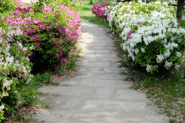 path azalea blossoms park