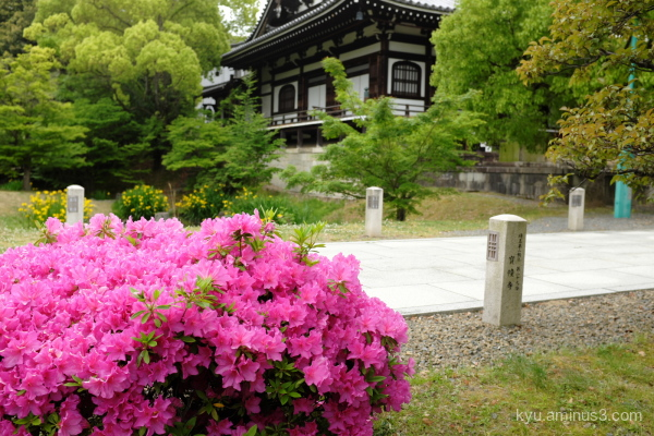 azalea blossoms Chishakuin temple Kyoto