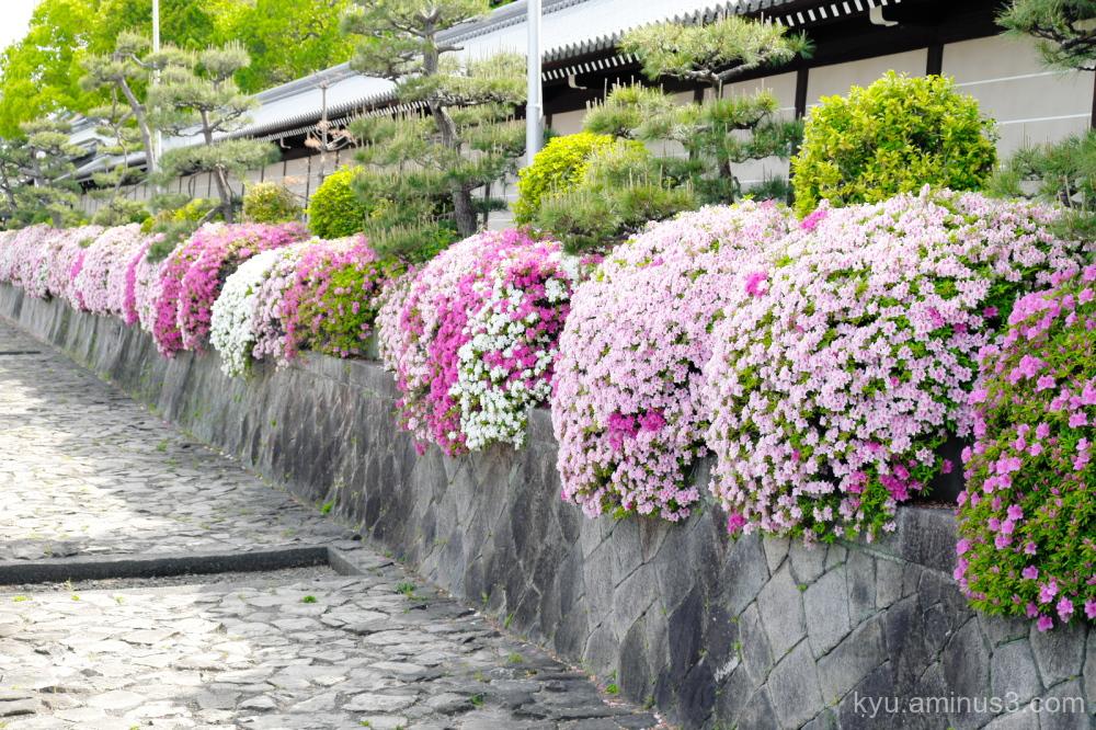 azalea blossoms Nishihonganji temple Kyoto