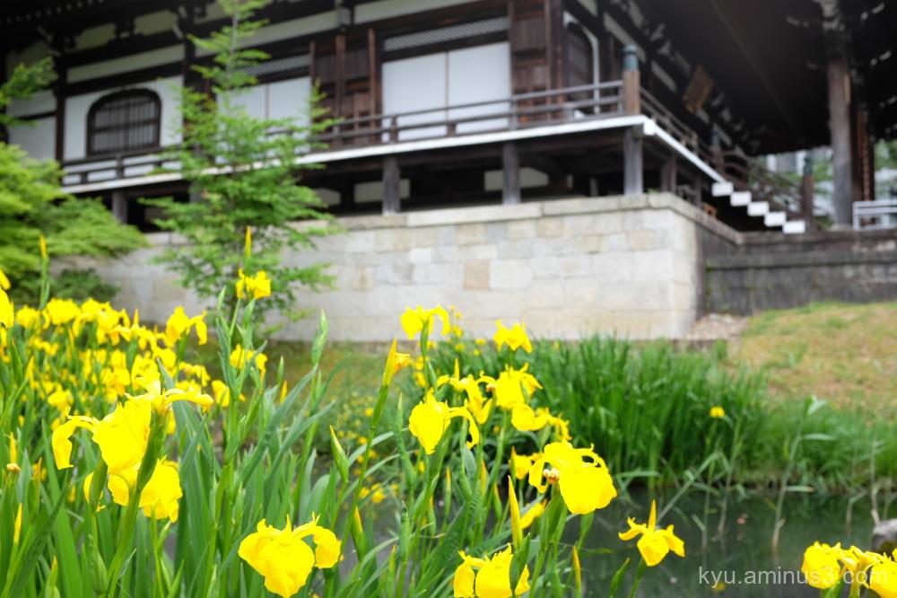 iris flowers Chishakuin temple Kyoto