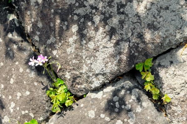 clover flowers stones