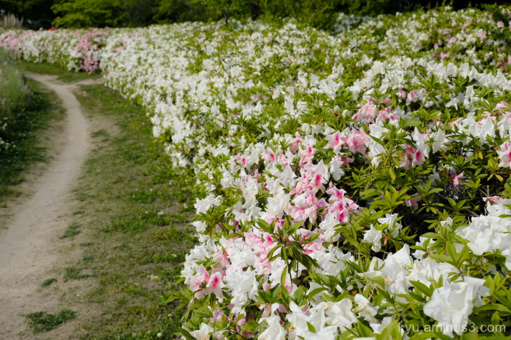 azalea flowers path