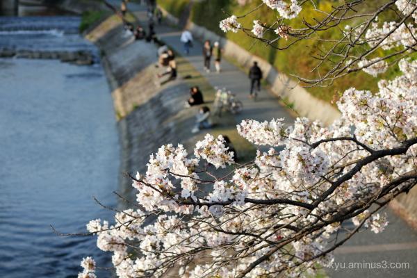 cherry blossoms Kamogawa river Kyoto