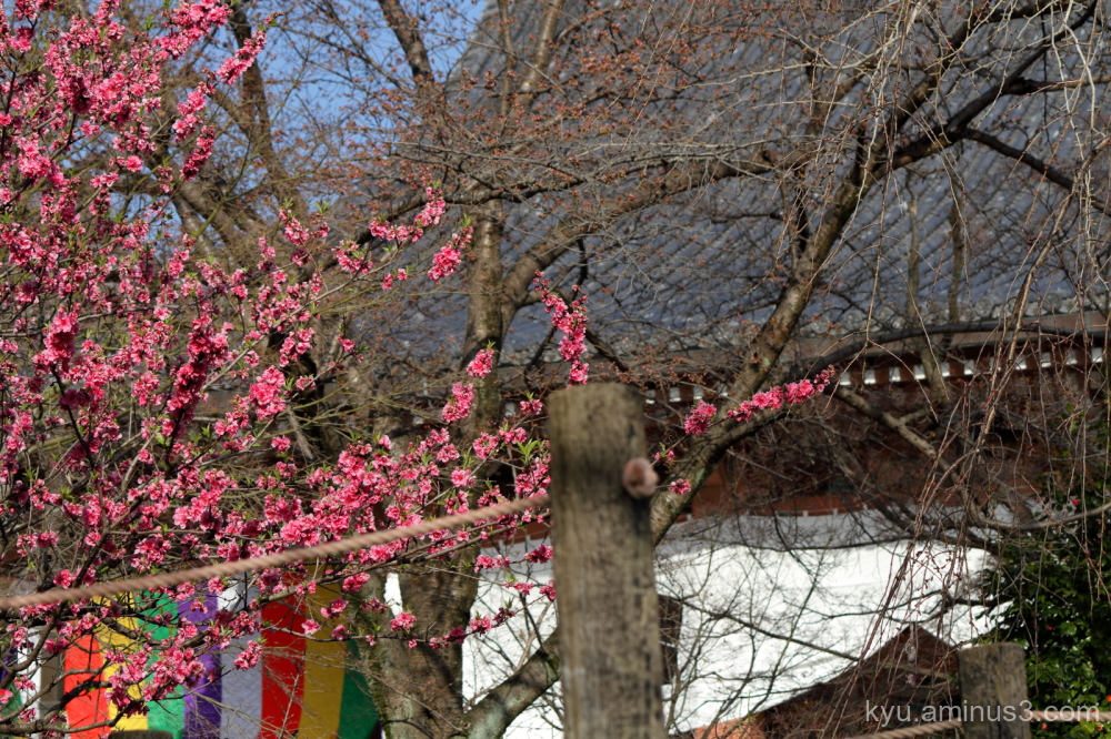 peach blossoms Chishakuin temple Kyoto