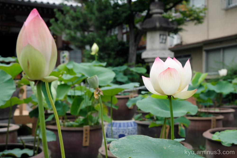 lotus flowers Dairenji temple Kyoto