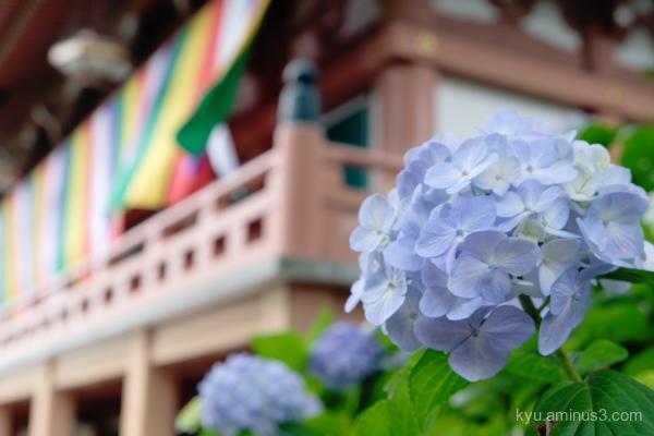 hydrangea flowers Chishakuin temple Kyoto