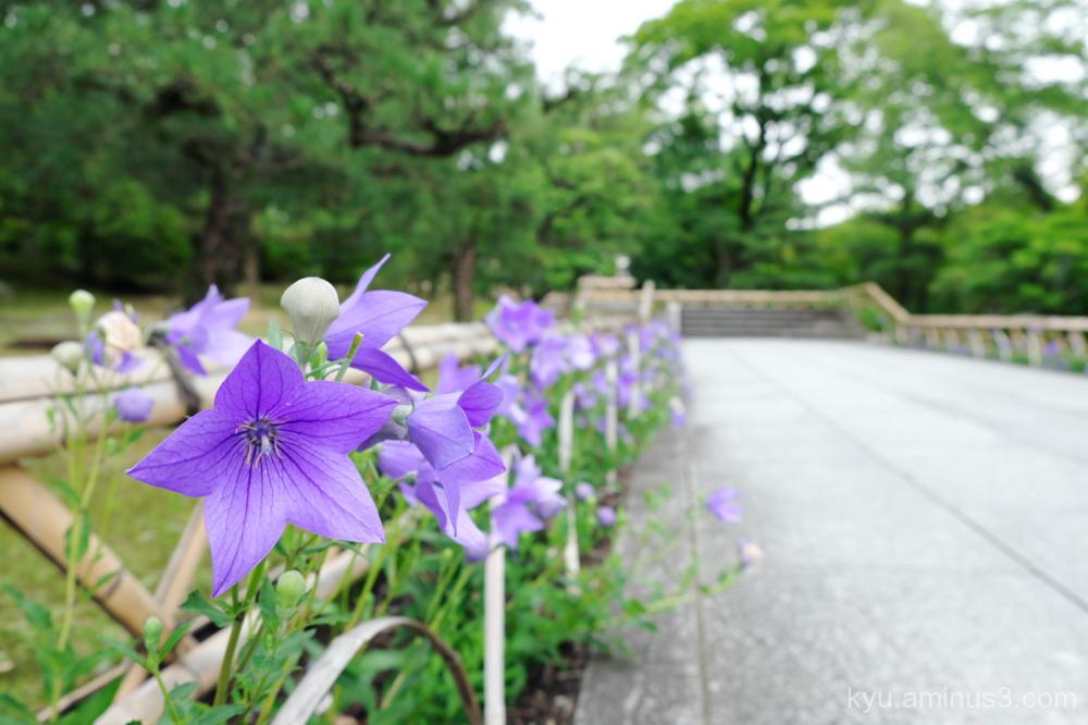 Japanese-bellflower Chishakuin temple Kyoto
