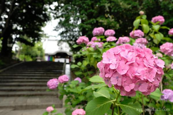 hydrangea flower Chishakuin temple Kyoto