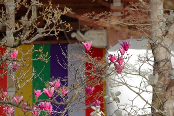 spring magnolia blossoms Chishakuin temple Kyoto