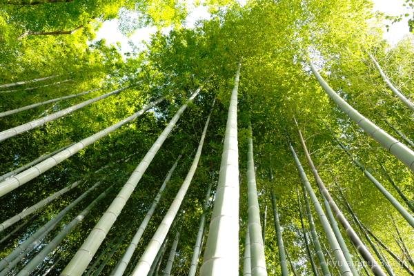 bamboo garden Shorenin temple Kyoto