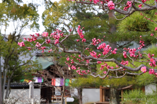Japanes-plum blossoms