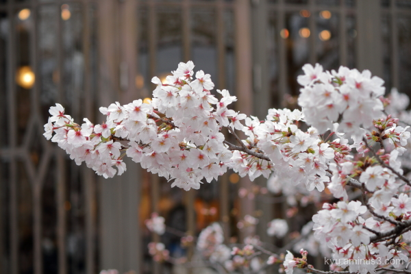 spring cherry-blossoms