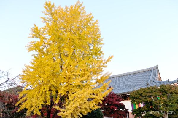 Tall gingko tree