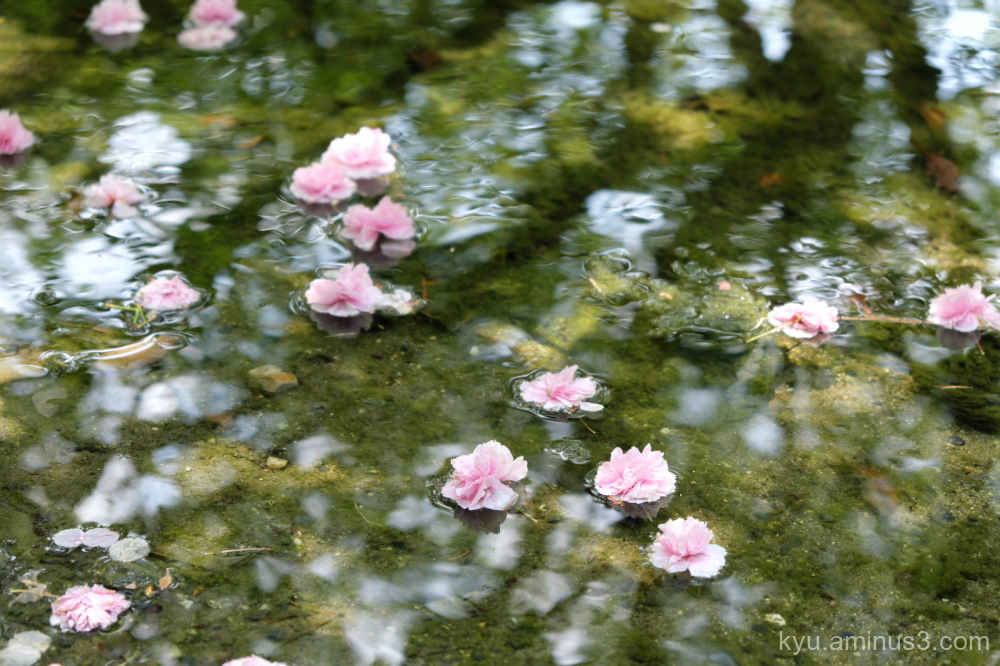 Floating blossoms