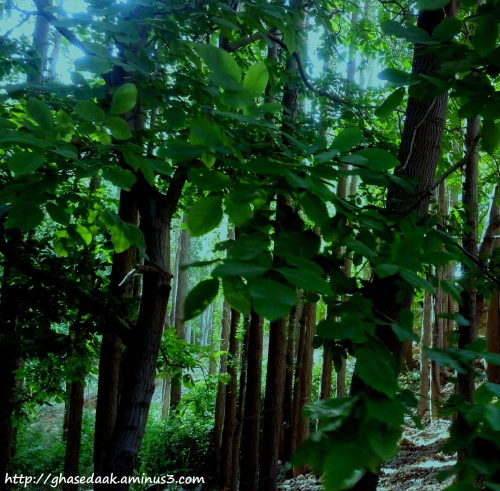 Walnut Forest sepidan mordad 92