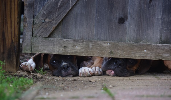 dogs,boxers,fence,under