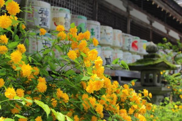 Japanese rose in Matsuo shrine 山吹 松尾大社