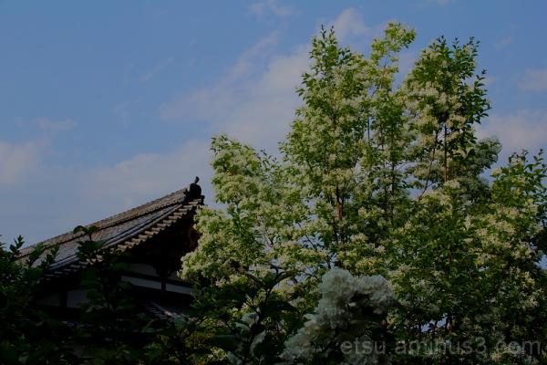 temple & white flower in kougenji temple 寺と花 弘源寺