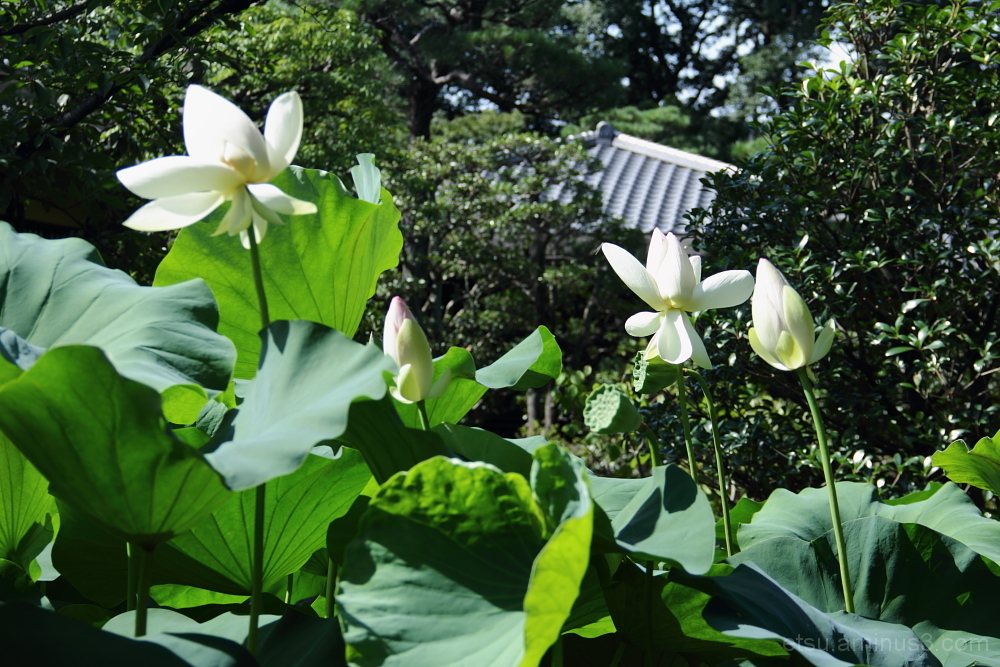 The lotus flower in the garden 蓮の花 枳殻邸