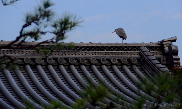 I'm staying here(at a roof of temple) 妙満寺 青鷺