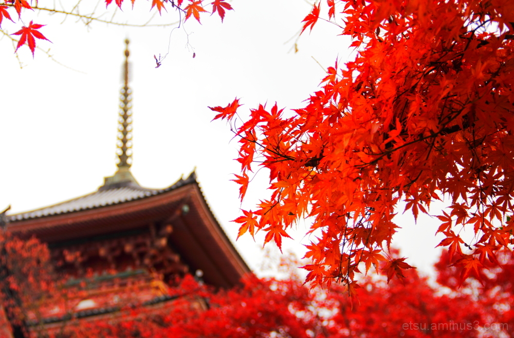 Red leaves with a pagoda  清水寺