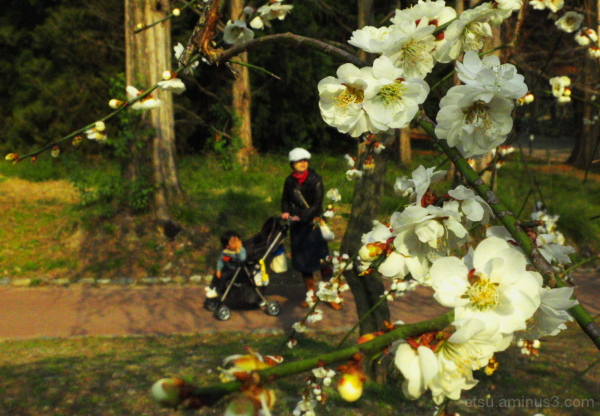 Apricot blossom viewing 植物園
