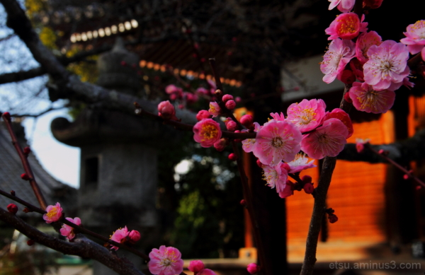 Apricot flowers (at a temple) 真如堂