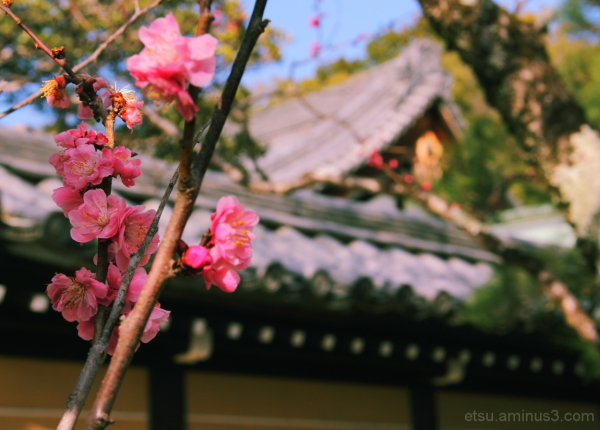 Apricot flowers (at a temple) 黒谷