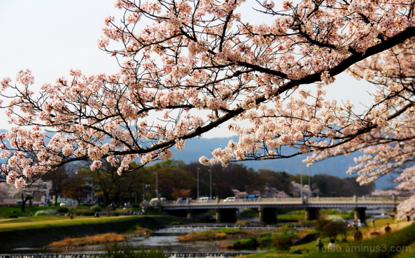 Cherry blossoms blooming (near the river) 鴨川 桜