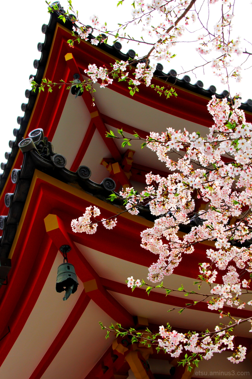 Cherry blossoms (near a pagoda) 知恩院