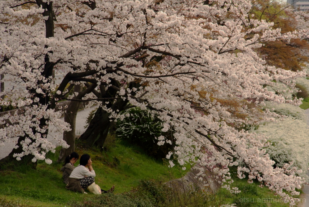 Chatting under cherry blossoms 鴨川