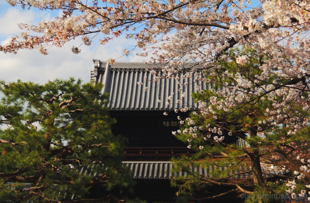 Cherry blossoms (near a main gate) 建仁寺