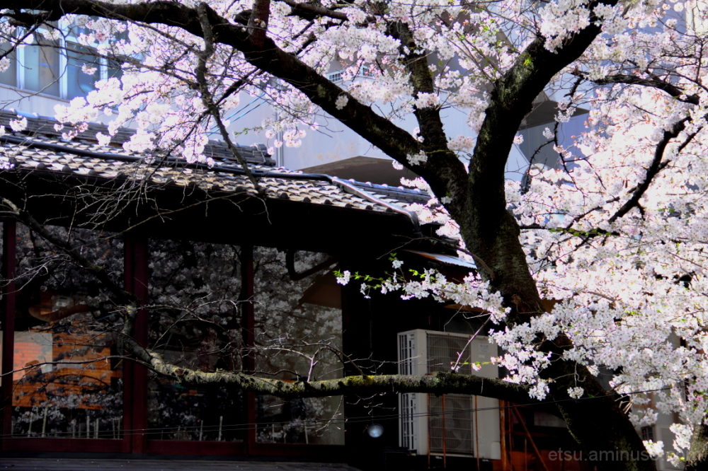 Reflections of cherry blossoms 木屋町