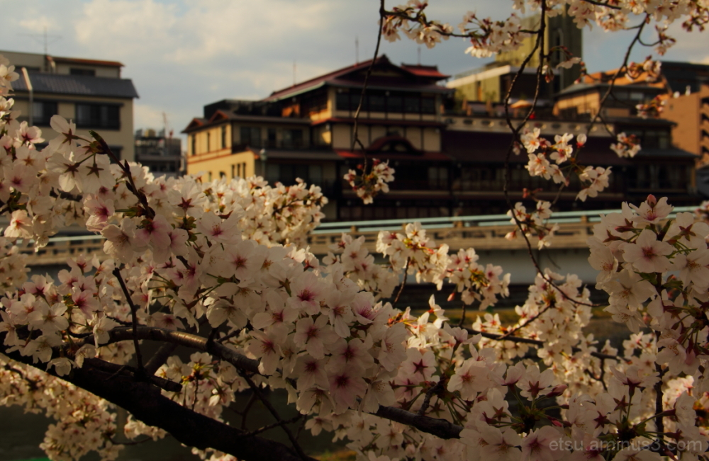 Fully blooming cherry blossoms 鴨川