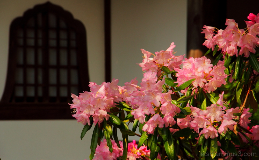 The window is seeing the blooming flower, too 圓光寺