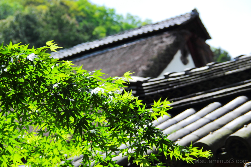Green leaves 安国寺