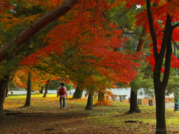 Red leaves' tunnel....... 御所
