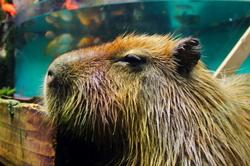 I'm a capybara, but my address is an aquarium.