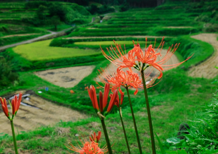 Red spider lilies in the rice field.........