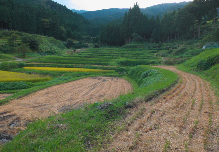 After harvesting (in Shiga)