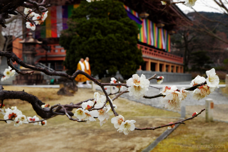Blooming white apricots at a temple
